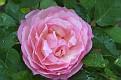 Heritage Rose #20