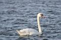 Spring Mute Swan #4