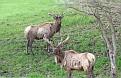 Pair of Male Elk