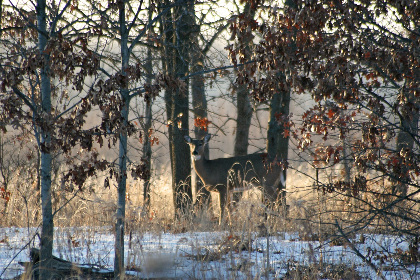 Winter Afternoon White Tailed Deer 4