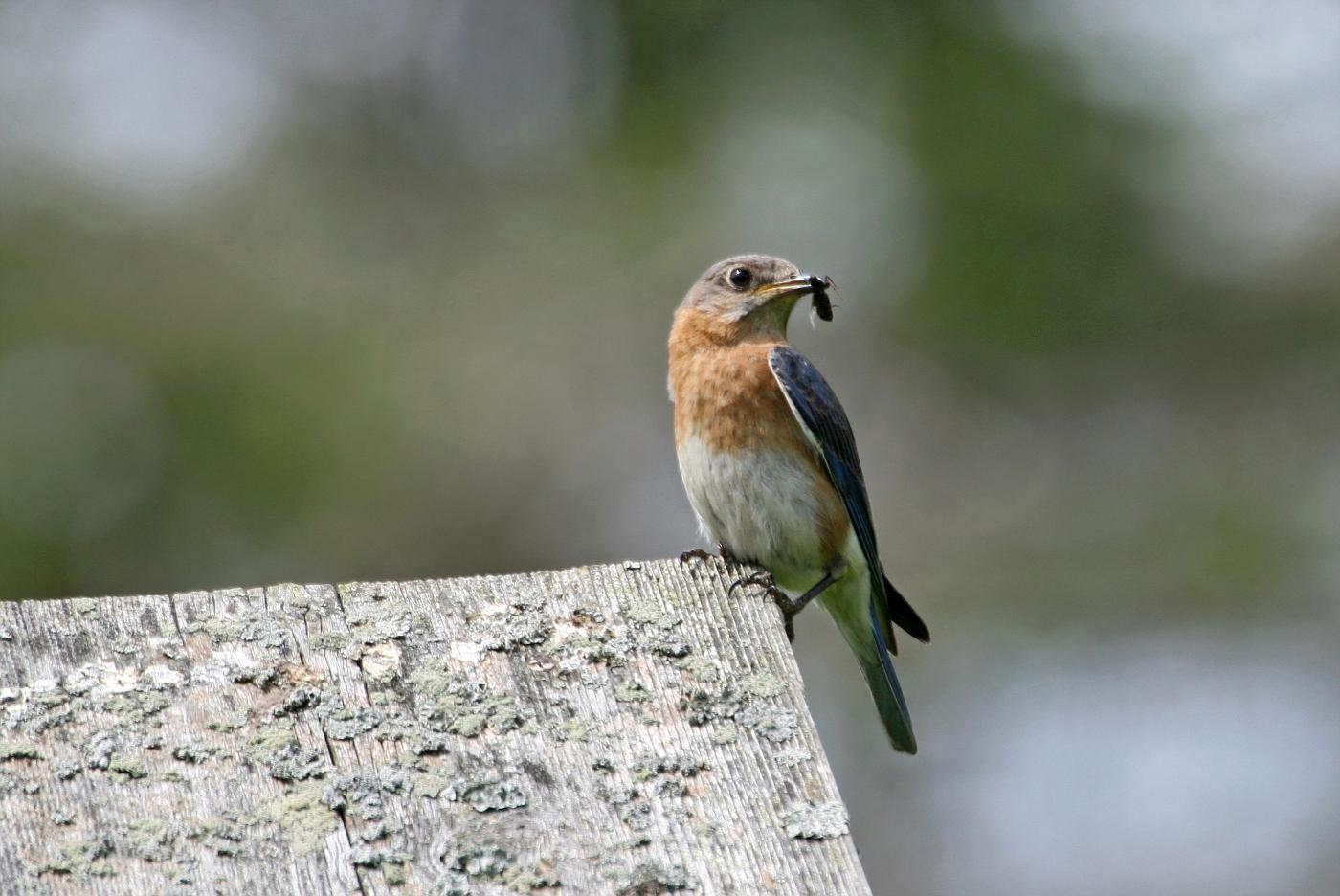 Female Bluebird #22