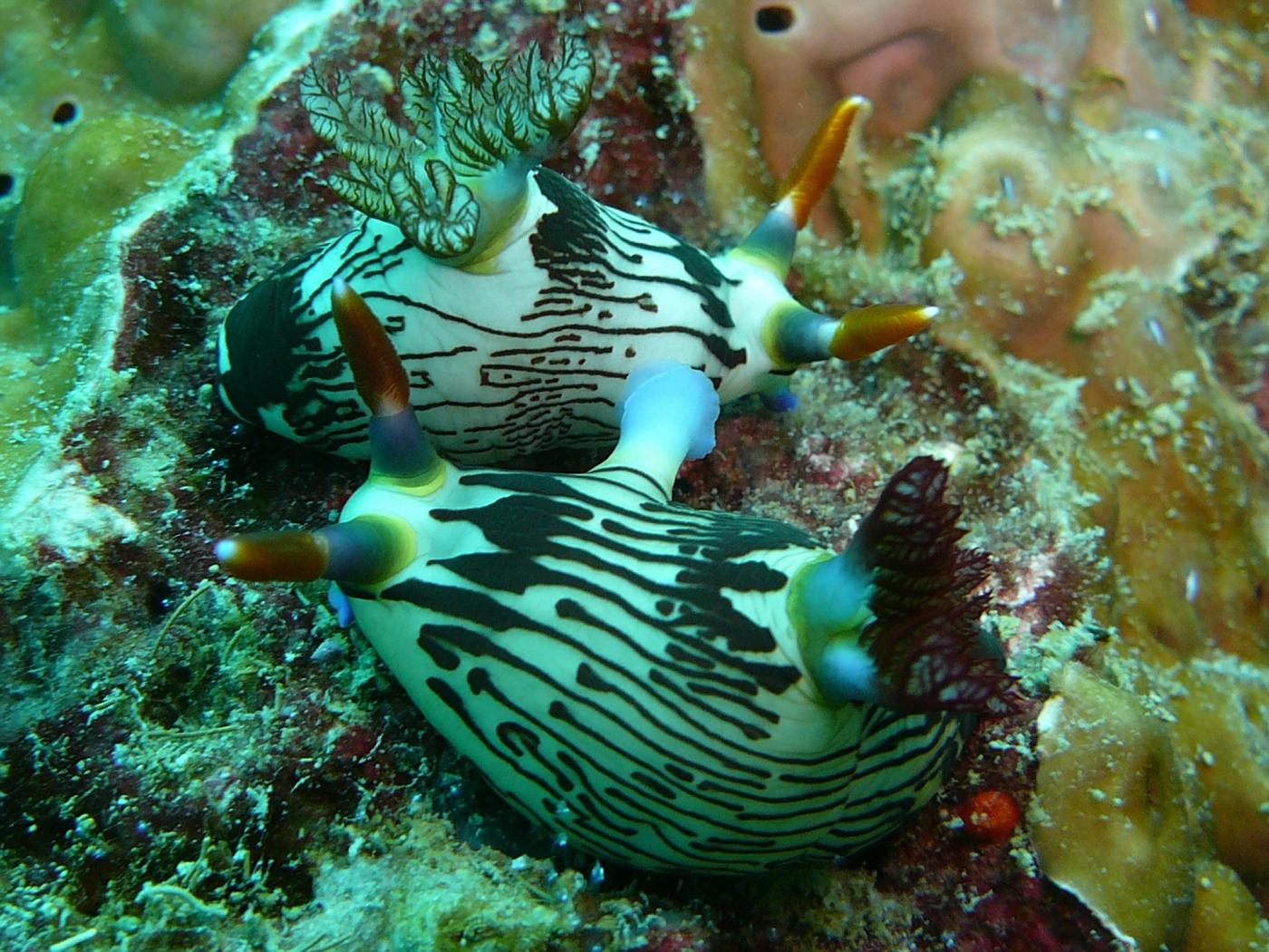 Mating Nudibranchs