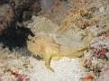 Yellow Scorpion Leaf Fish