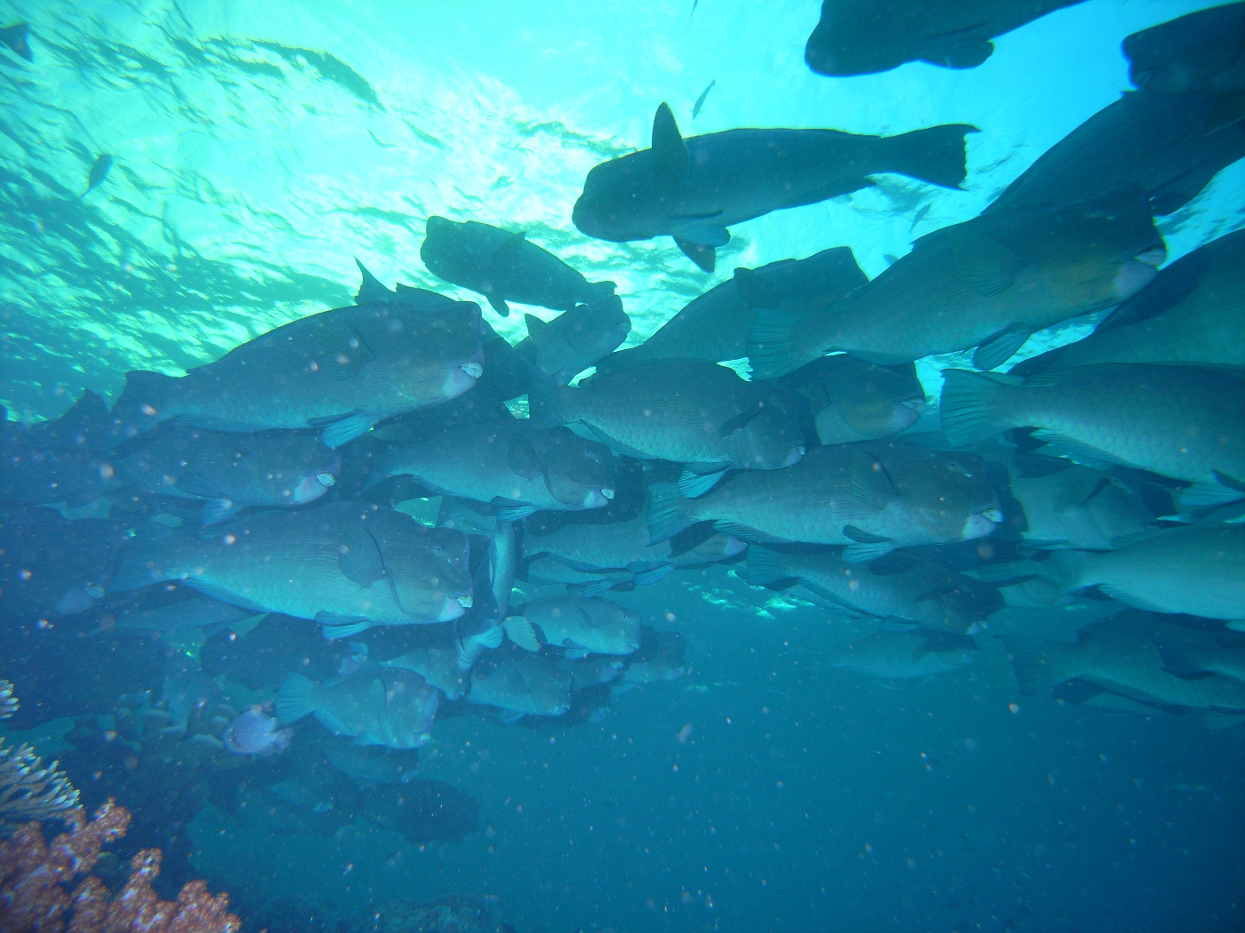 Large School of Huge Bumphead Parrotfish