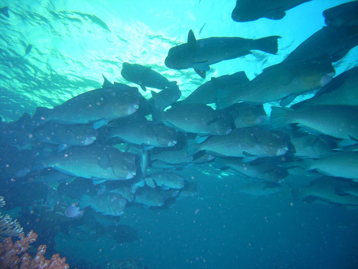 Large School of Huge Bumphead Parrotfish