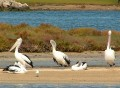 Pelicans 002