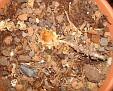 Amorphophallus bulbifer