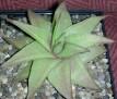 Haworthia limifolia var ubomboensis -Ubombo Mountains RIB0291