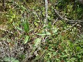 Fritillaria tinos (16)