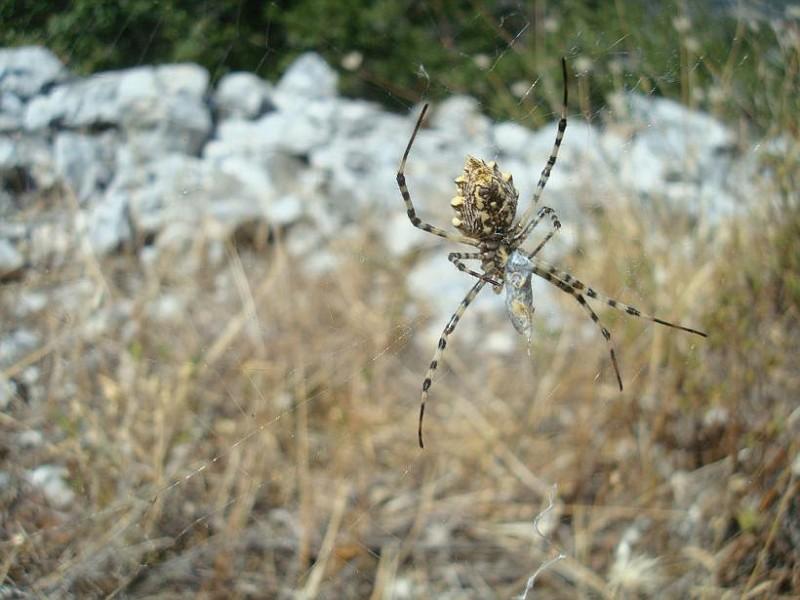 Argiope lobata Αράχνη
