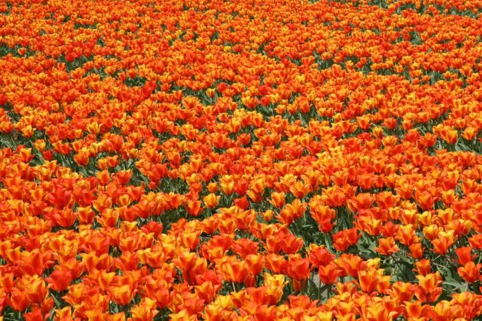 Tulips Voorhout Sassenheim (54)