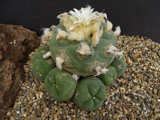 Lophophora jourdaniana