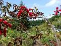 052 Bougainvillea cultivar