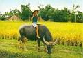 Scan of Vietnamese girl on water buffalo.