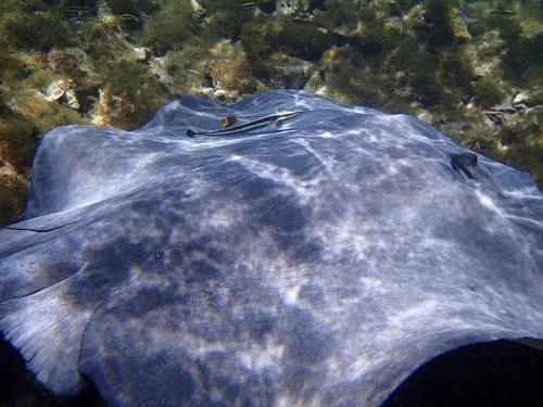horseshoe ray with remora