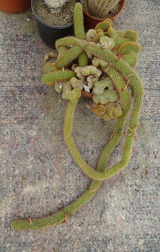 Cleistocactus hidegardiae Cana Cruz
