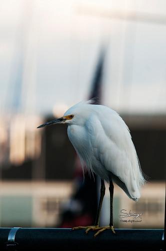 Snowy Egret (Egretta thula) 0925