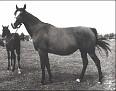 ALGA (Witraz x Bulwa, by Kuhailan Zaid (db)) 1947 bay mare bred by Posadowo Stud