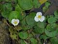 European Frog-bit (Hydrocharis morsus-ranae), Rideau River, near Spencerville.