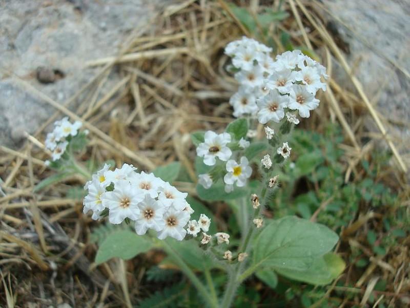 Heliotropium sp (2)