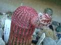 Echinocereus pectinatus var rubispinus