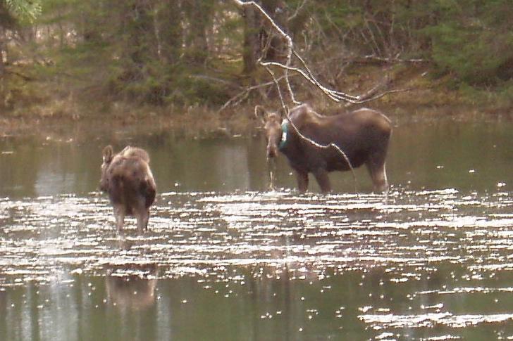Moose graze on the pond near the Gustavus Inn