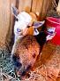 s12 goats