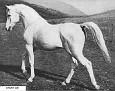 GHARIS #623 (*Abu Zeyd x Guemura) 1927 grey stallion bred by WR Brown/ Maynesboro Arabian Farm