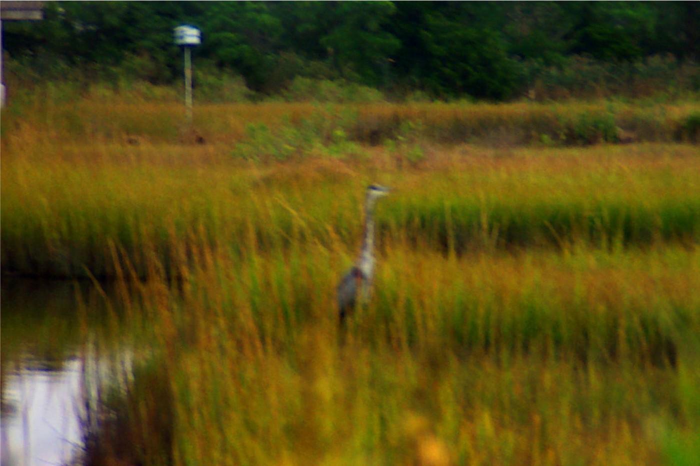 blue heron at marsh 10 05 03 -4
