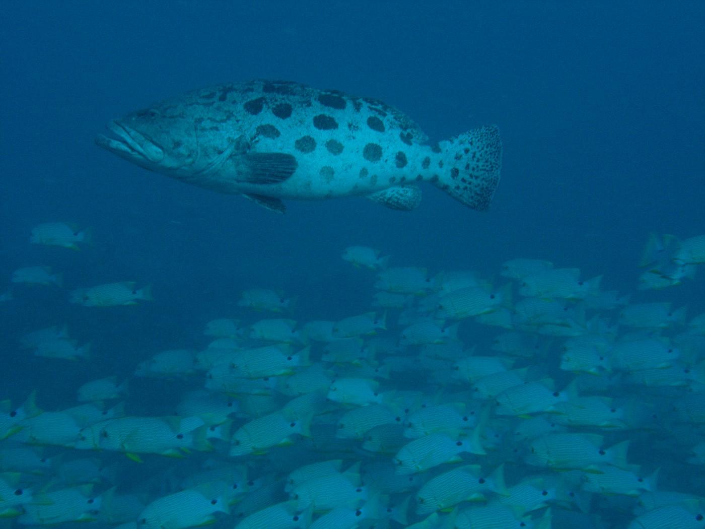 Large Potato Cod w/ School of fish