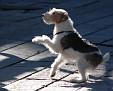 Jack, a wire hair fox terrier