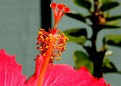a backyard hibiscus