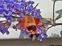 HummingbirdMoth001