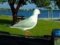 Bonnet Seagull 010