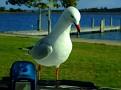 Bonnet Seagull 011