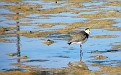 Plover in the Wynnum wading pool 005
