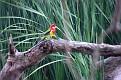 Eastern Rosella Forbes Wetland 130308 001