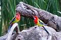 Eastern Rosella Forbes Wetland 130308 006