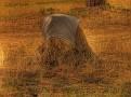 Hay Stooks 005