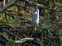 Great Egret near Walgett 002
