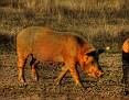Dalyup Sow grazing 001