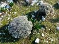 Euphorbia acanthothamnos & Urginea maritima