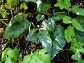 Cyclamen cyprium (7)