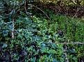 Cyclamen cyprium (8)