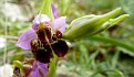 Ophrys mycenensis (3)