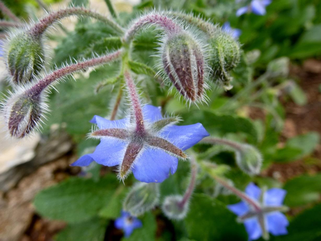 Borago officinalis (2)