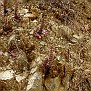 Sedum cyprium (13)