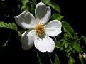 Rosa micrantha subsp  chionistrae (5)