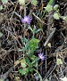 Carduus argentatus subsp  acicularis (2)