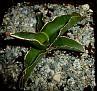 Sansevieria robusta ex Vrskovy (7)